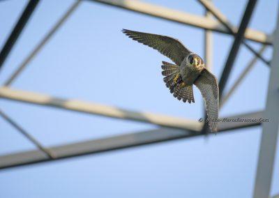 Slechtvalk_Peregrine Falcon_Falco Peregrinus_marcelloromeo_10040