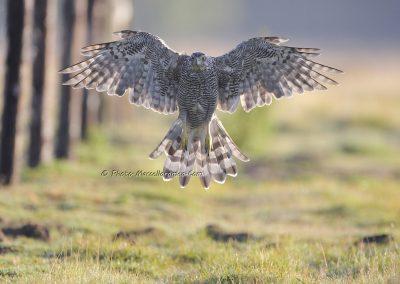Sperwer_sparrowhawk_Accipiter Nisis_ marcelloromeo_5536