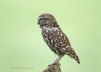Steenuil_Little-Owl_Athene-Noctua_marcelloromeo_4124