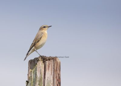 Tapuit_Northern Wheatear_Oenanthe Oenanthe_Marcelloromeo_8101