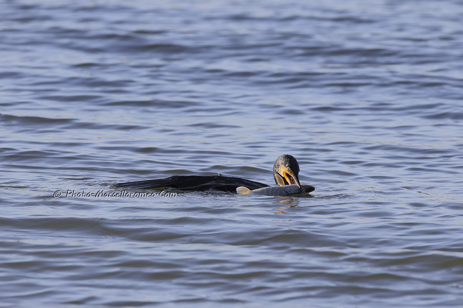 000000000000000_Aalscholver_great cormorant _Phalacrocorax carbo_Marcelloromeo_6471