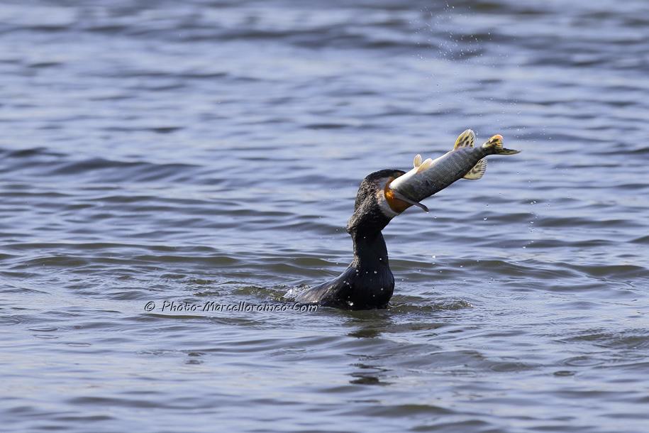 000000000000000_Aalscholver_great cormorant _Phalacrocorax carbo_Marcelloromeo_6474