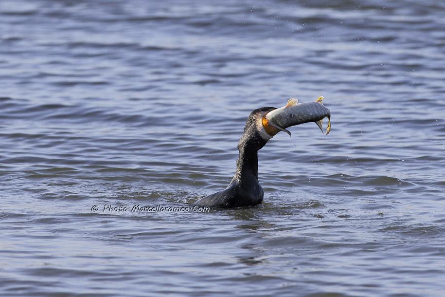 000000000000000_Aalscholver_great cormorant _Phalacrocorax carbo_Marcelloromeo_6475