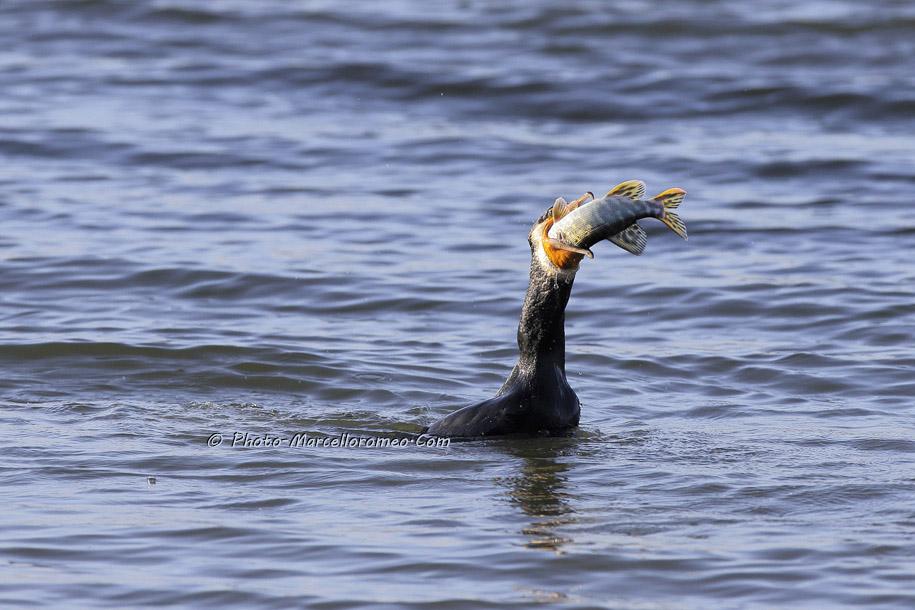 000000000000000_Aalscholver_great cormorant _Phalacrocorax carbo_Marcelloromeo_6476