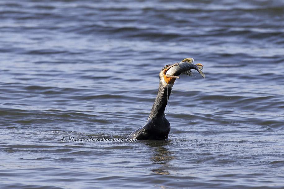 000000000000000_Aalscholver_great cormorant _Phalacrocorax carbo_Marcelloromeo_6477