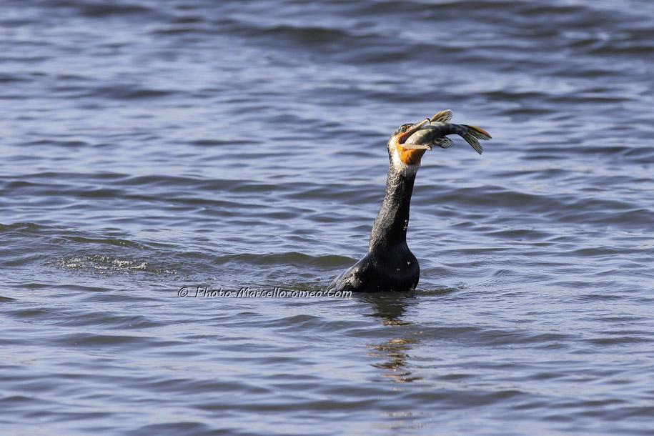 000000000000000_Aalscholver_great cormorant _Phalacrocorax carbo_Marcelloromeo_6478