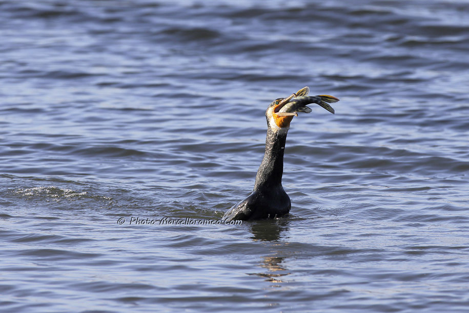 000000000000000_Aalscholver_great cormorant _Phalacrocorax carbo_Marcelloromeo_6479