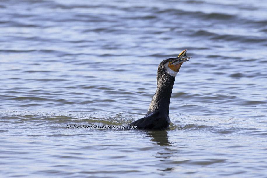 000000000000000_Aalscholver_great cormorant _Phalacrocorax carbo_Marcelloromeo_6480
