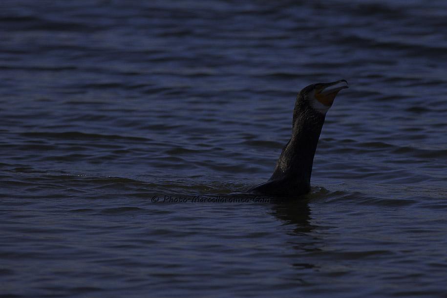 000000000000000_Aalscholver_great cormorant _Phalacrocorax carbo_Marcelloromeo_6484