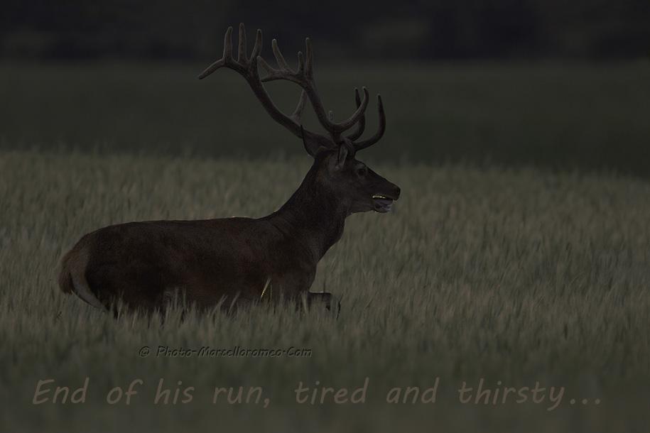 00000000000000_Edelhert_Red-Deer_Cervus-Elaphus_marcelloromeo_2650