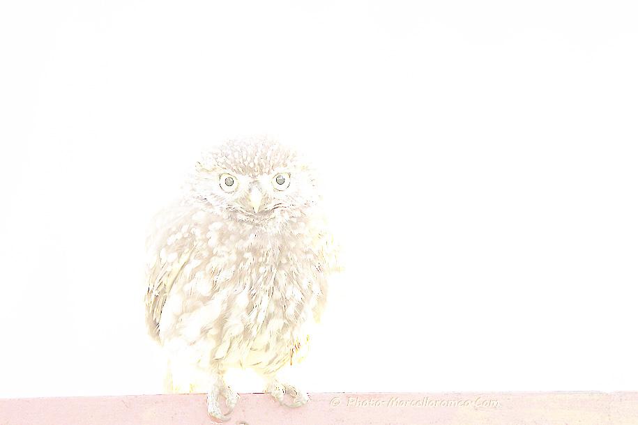 0000000000000_Steenuil_Little Owl_Athene Noctua_marcelloromeo_2605