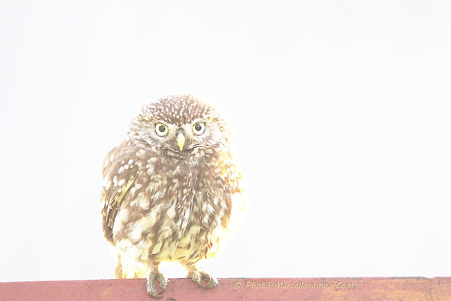 0000000000000_Steenuil_Little Owl_Athene Noctua_marcelloromeo_2606