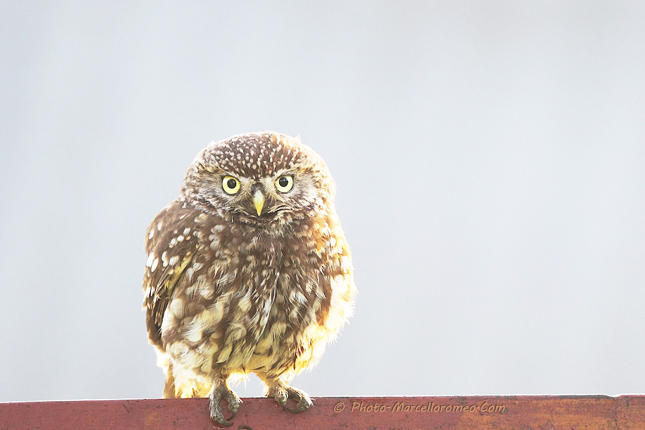 0000000000000_Steenuil_Little Owl_Athene Noctua_marcelloromeo_2607