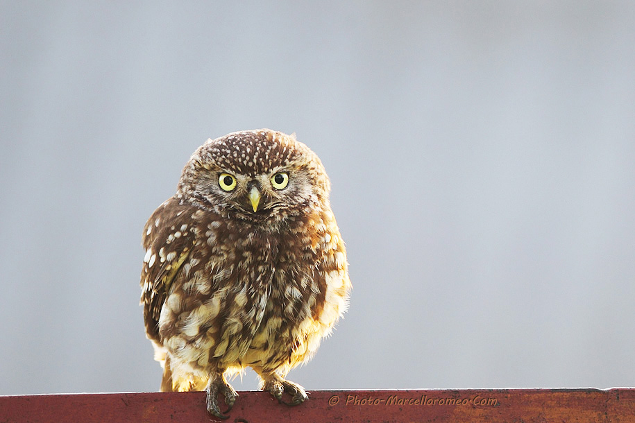 0000000000000_Steenuil_Little Owl_Athene Noctua_marcelloromeo_2608
