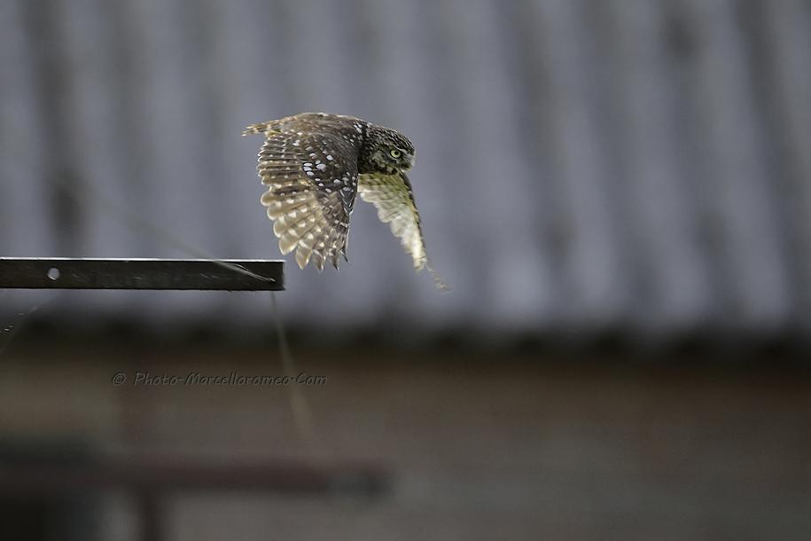 0000000000000_Steenuil_Little-Owl_Athene-Noctua_marcelloromeo_2616C