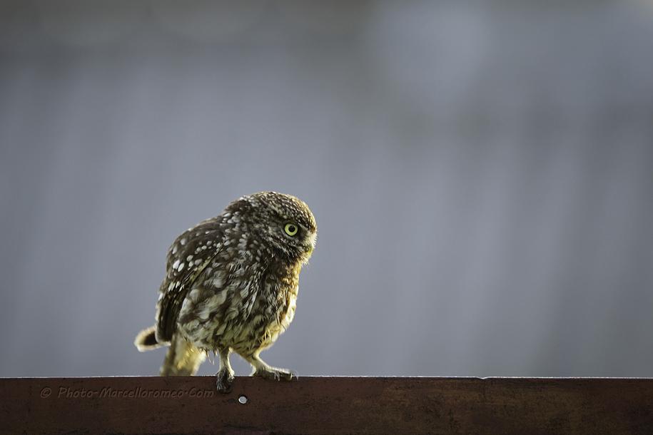 0000000000000_Steenuil_Little-Owl_Athene-Noctua_marcelloromeo_2618E