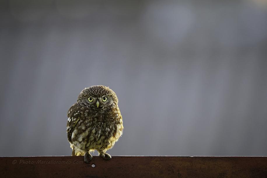 0000000000000_Steenuil_Little-Owl_Athene-Noctua_marcelloromeo_2620