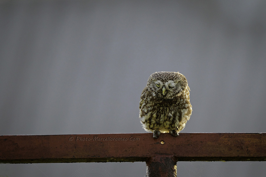 0000000000000_Steenuil_Little-Owl_Athene-Noctua_marcelloromeo_2622