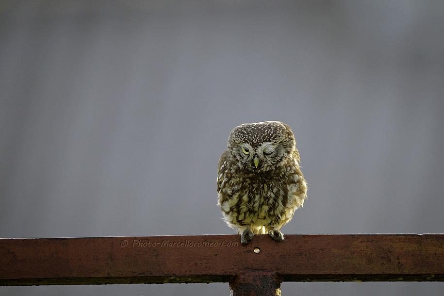 0000000000000_Steenuil_Little-Owl_Athene-Noctua_marcelloromeo_2624