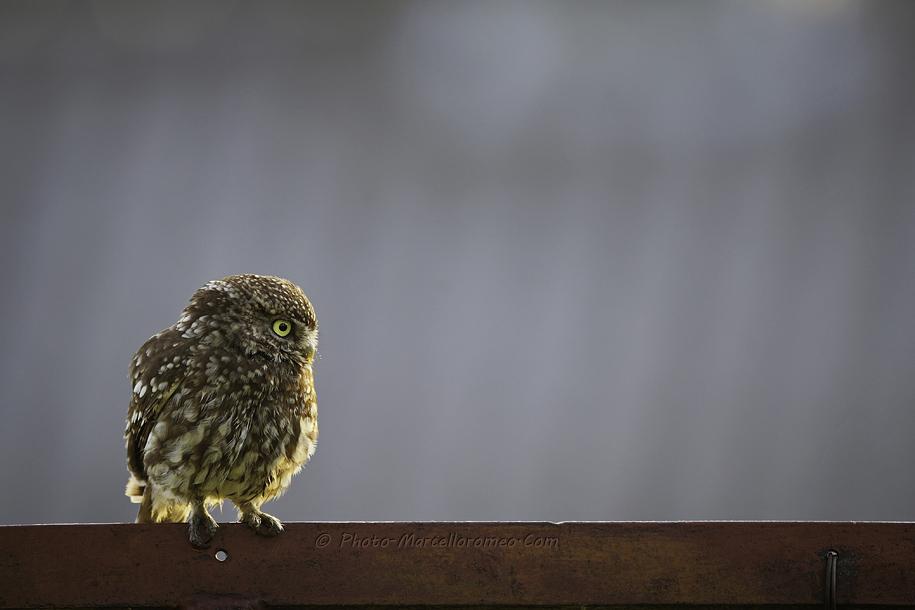 0000000000000_Steenuil_Little-Owl_Athene-Noctua_marcelloromeo_2625