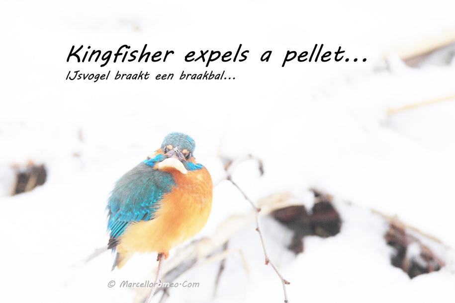000000000000_IJsvogel_Kingfisher_Alcedo Atthis_marcelloromeo_1723