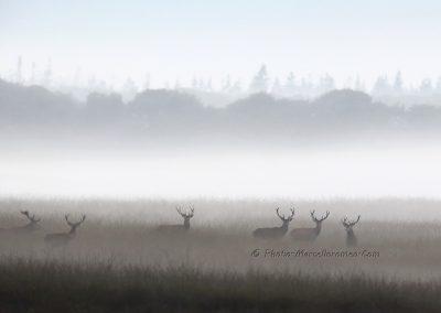 Edelhert_Red Deer_Cervus Elaphus_Marcelloromeo_11707