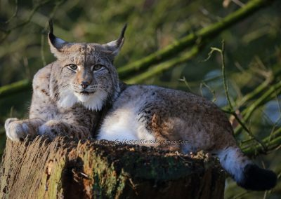 Euraziatische Lynx_Eurasian Lynx_Lynx Lynx_Marcelloromeo_12321