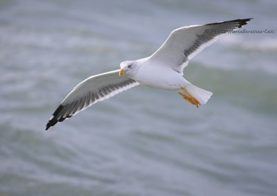 Geelpootmeeuw_Yellow-legged Gull_Larus Michahellis_Marcelloromeo_12141