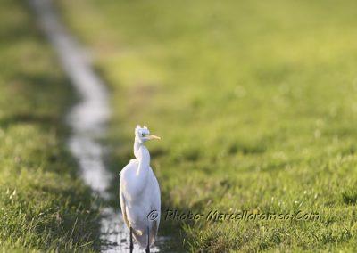 Grote Zilverreiger_Great White Heron_Ardea Alba_Marcelloromeo_12227
