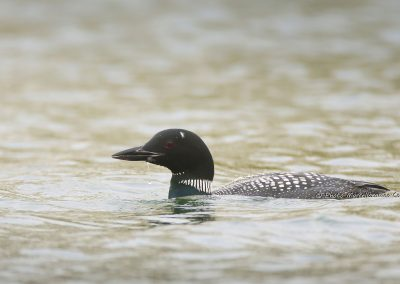 IJsduiker_Great Northern Loon_Gavia Immer_Marcelloromeo_12033
