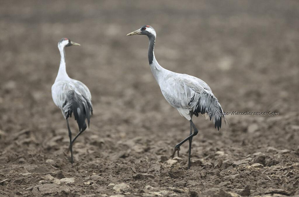 Kraanvogel_Common Crane_Grus Grus_Marcelloromeo_12087