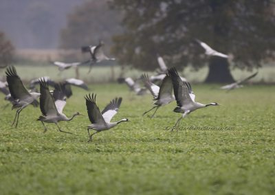 Kraanvogel_Common Crane_Grus Grus_Marcelloromeo_12089