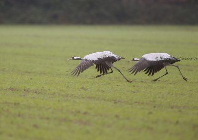 Kraanvogel_Common Crane_Grus Grus_Marcelloromeo_12105