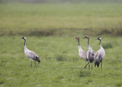 Kraanvogel_Common Crane_Grus Grus_Marcelloromeo_12113