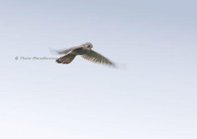 Torenvalk_Kestrel_Falco Tinnunculus_Marcelloromeo_12318
