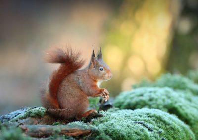 Eekhoorn_Red Squirrel_Sciurus Vulgaris_Marcelloromeo_12461-3