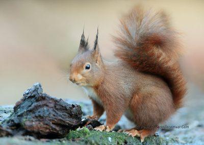 Eekhoorn_Red Squirrel_Sciurus Vulgaris_Marcelloromeo_12469