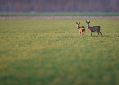 Ree_Roe Deer_Capreolus Capreolus_Marcelloromeo_12403