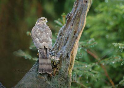 Sperwer_Sparrowhawk_Accipiter NisisMarcelloromeo_12448