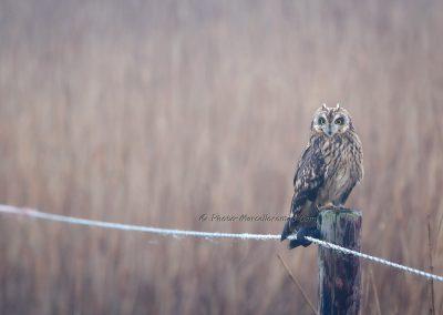 Velduil_Short-eared Owl_Asio Flammeus_Marcelloromeo_12407