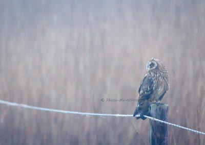 Velduil_Short-eared Owl_Asio Flammeus_Marcelloromeo_12408