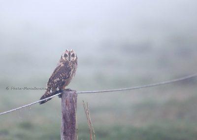 Velduil_Short-eared Owl_Asio Flammeus_Marcelloromeo_12410