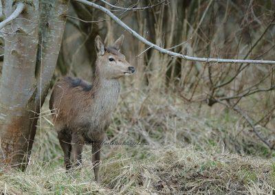 Edelhert_Red Deer_Cervus Elaphus_Marcelloromeo_12649