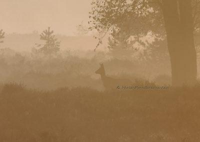 Ree_Roe Deer_Capreolus Capreolus_marcelloromeo_6126