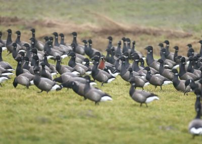 Rotgans+Roodhalsgans_Brant Goose+Red-breasted Goose_Branta Bernicla+Branta Ruficollis_Marcelloromeo_12510
