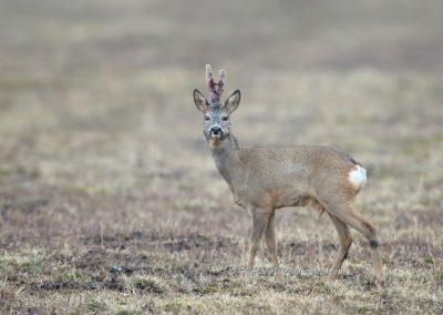 Ree_Roe Deer_Capreolus Capreolus_Marcelloromeo_12903