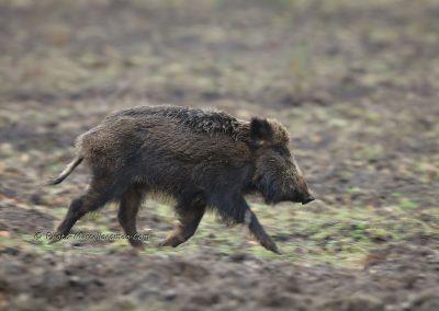 Wild Zwijn_Wild Boar_Sus Scrofa_Marcelloromeo_12976