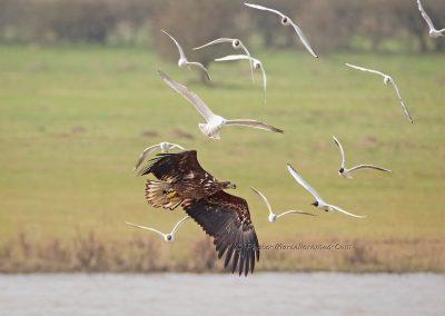 Zeearend_White-tailed Eagle_Haliaeetus Albicilla_Marcelloromeo_13186