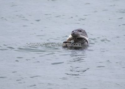Harbor seal eats a big European Bass (fish)