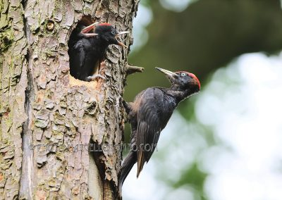 Male black Woodpecker is about to fedd the hungry young ones.